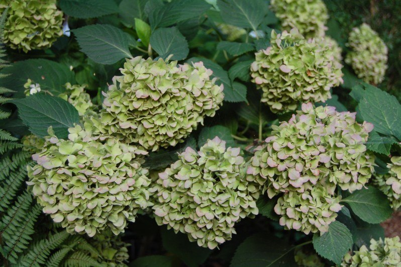 have hortensia macrophylla