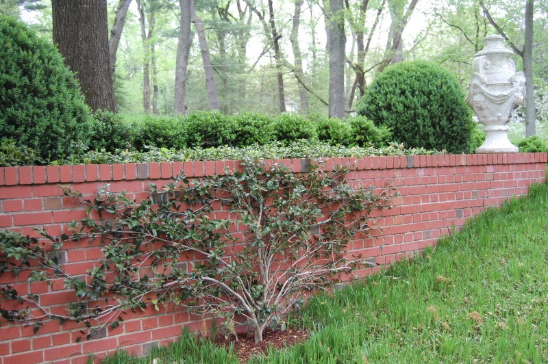espalliered camellia on front wall