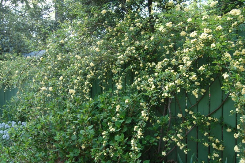 Lady Banks Rose (Rosa banksiae) cascades over the fence.