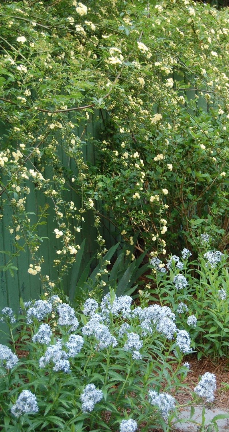 Lady Banks Rose (Rosa banksiae) floats above the Eastern Bluestar (Amsonia tabernaemontana, better known simply as Amsonia).