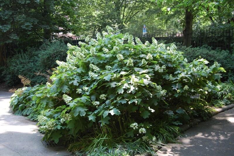 Oak leaf hyd near entrance to cp
