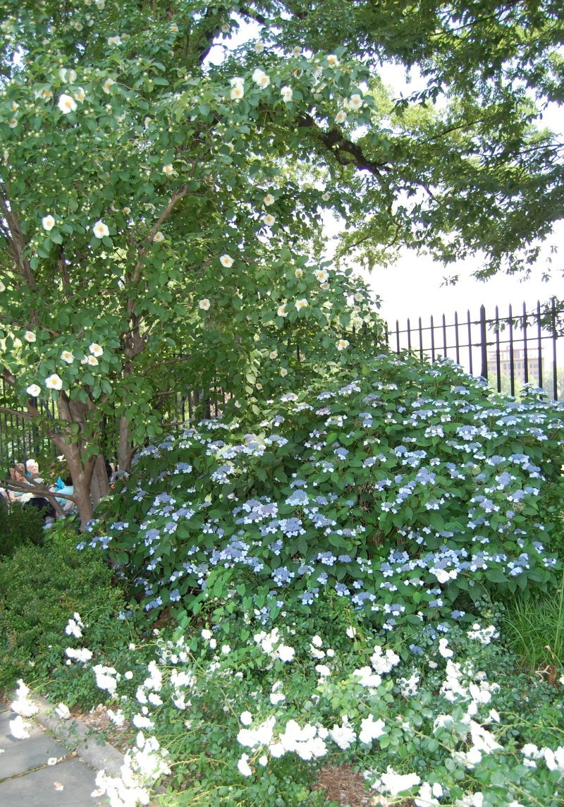 stewartia, lacecap and roses with fence