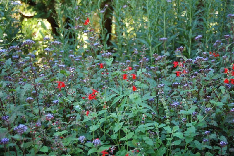 Cardinal flower and ageratum