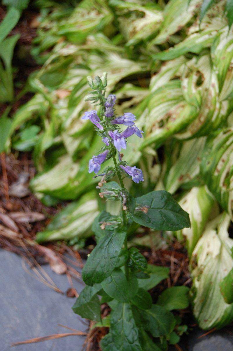Flowers for the october garden blue lobelia izmirmasajfo Images