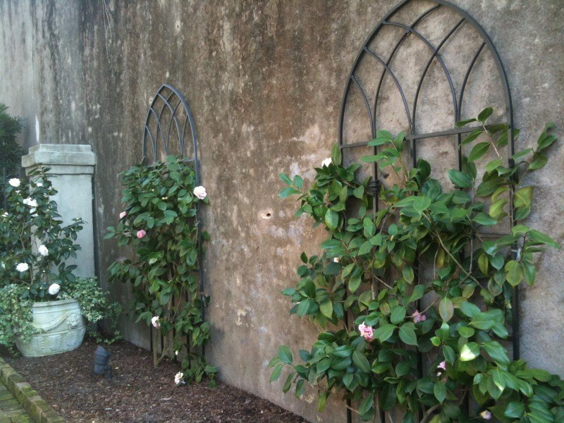 espalliered camellias