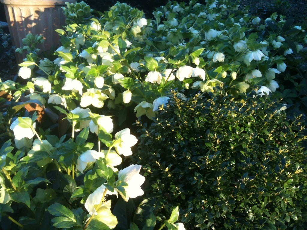 Boxwood and helleborus