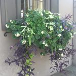 CHARLESTON'S WINDOW BOXES